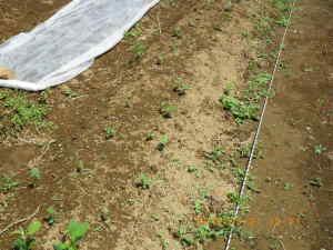 黒豆の発芽