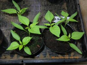 葉トウガラシの苗