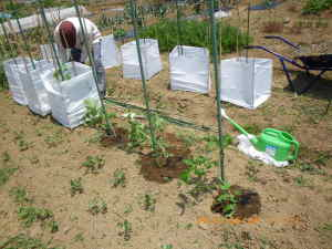 トマトの植え付け