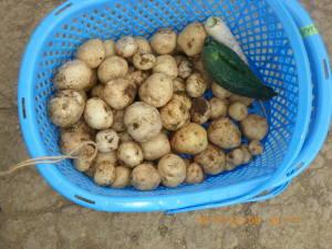思わぬ収穫のジャガイモ