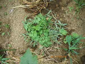 トマトを移植