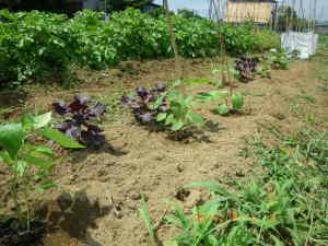 定植した葉トウガラシとナス