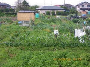 初夏の菜園