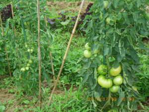 大玉トマトとボルゲーゼ