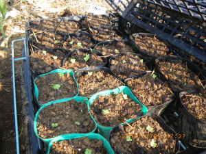 キャベツ、芽キャベツ、タラゴン