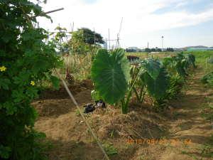 サトイモの畝