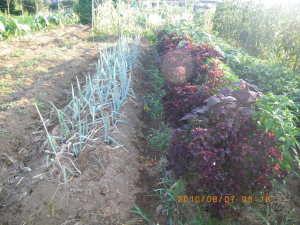 長ネギと赤シソの畝