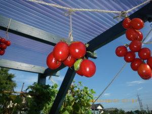 ドライ・トマトとアマガエル