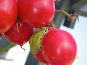 トマトとアマガエル(拡大)