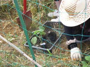 キュウリ苗の植え付け