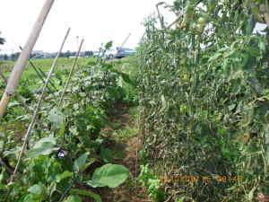 トマトとナスの畝