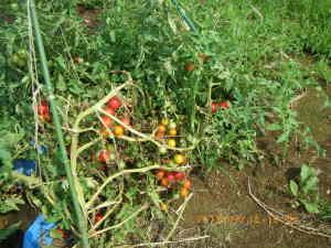 自生のミニ・トマト