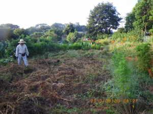 除草後のジャガイモ畑