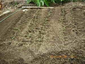 移植したタマネギの苗