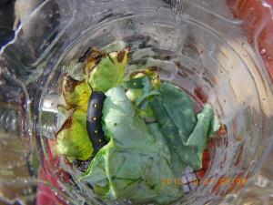 ヨトウムシとスズメガの幼虫の入ったペットボトル
