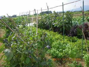 トマトを撤去したラッカセイ畝