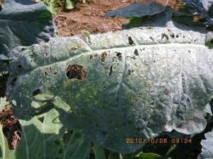 若齢ヨトウムシの虫食い