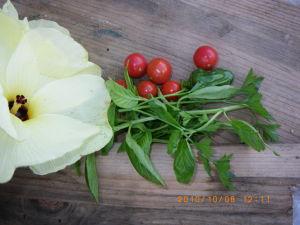実生のトマト