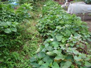 若葉のサツマイモ