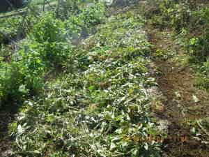 ラッカセイの畝でタマネギを栽培