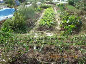 畝間に米ぬかを散布