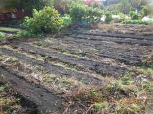 1週間前に播種した麦畑