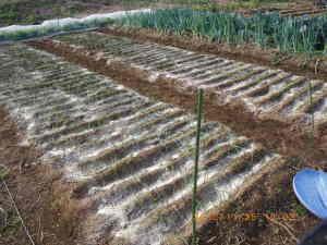 タマネギ畝に米ぬかと草木灰を散布