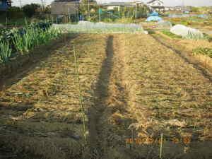 タマネギに草マルチ