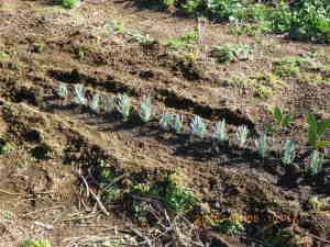 ラベンダーの挿し木