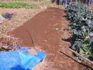 冬越し野菜の畝作り