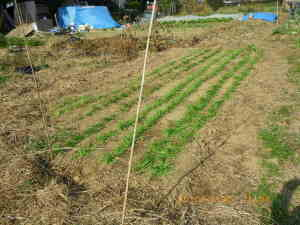 麦踏の後の畑