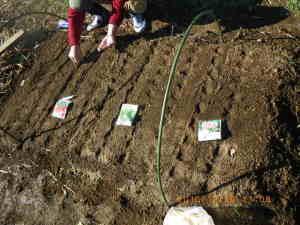 コカブ、シュンギク、ラディッシュの播種