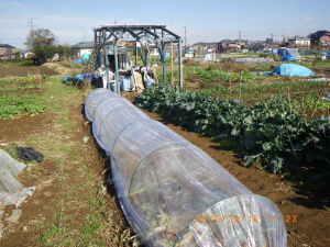 冬越し野菜畝にビニールトンネル