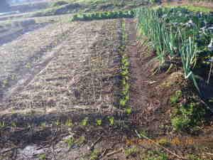 霜柱とタマネギ畝