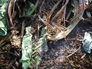 残渣マルチ下のコウジカビ