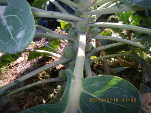 健康な芽キャベツ
