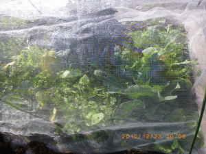 芯食い虫の被害を受けたキャベツ