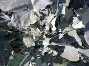 側花蕾をつけたブロッコリー