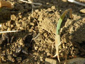 枯れかけたタマネギ苗の新芽