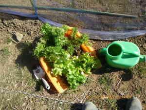 ワサビ菜、チシャ、ミズナを移植