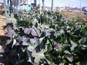 収穫の続くブロッコリー