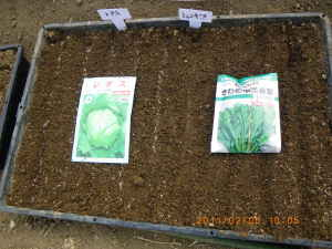 シュンギクと玉レタスの播種