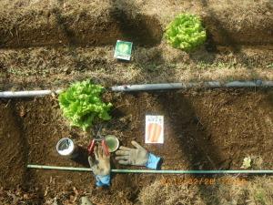 レタスの収穫跡