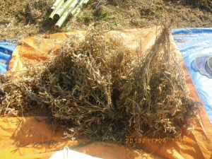 厚木で収穫したダイズ