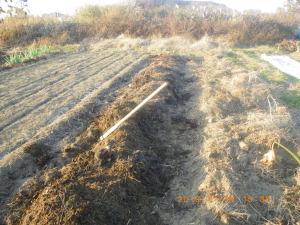 長期保存用タマネギの定植準備