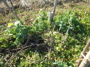 雑草に埋もれたエンドウ豆