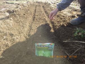 「早生キャベツ」を播種