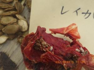 トマト・麗夏の採種