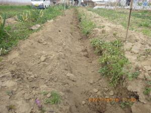 サトイモの植え付け