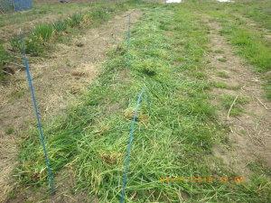 ジャガイモに草マルチ